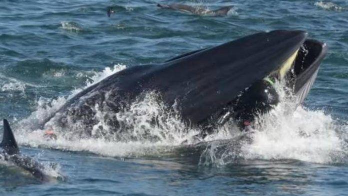 Una ballena se traga a un buceador y luego lo escupe ileso