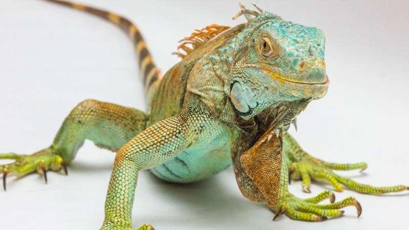 Cierran una pizzería de Miami por tener guardada una iguana muerta de 80 libras en un congelador
